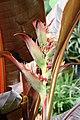 Heliconia edwardus-rex 0zz.jpg