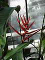 Heliconia sp.3.jpg