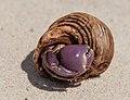 Hermit crabs of Seychelles 03.jpg