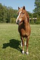Hevoset kesälaitumella 3.jpg