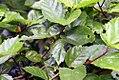 Hibiscus rosa-sinensis 16zz.jpg