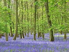 High Wood, Harpsden - geograph.org.uk - 797780.jpg