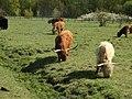 Highland Cows.jpg