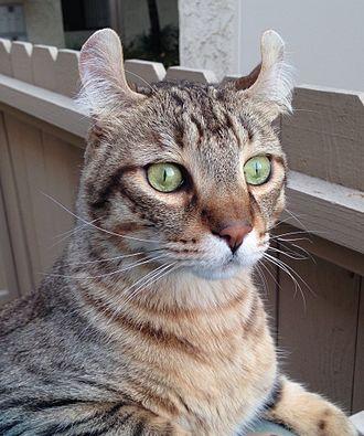 Highlander cat - Image: Highlander cat face (2014) Hugo by T Anthony