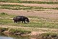 Hippo, Ruaha National Park (7) (28664781231).jpg