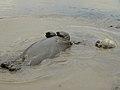 Hippo (Hippopotamus amphibius) enjoying a mud bath (8290525905).jpg