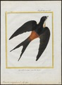 Hirundo senegalensis - 1700-1880 - Print - Iconographia Zoologica - Special Collections University of Amsterdam - UBA01 IZ16700145.tif