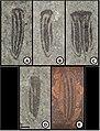 Holcoptera schlotheimi elytron variation.jpg