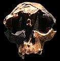 Homo antecessor child cast Natural History Museum London.jpg