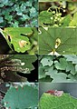 Host plant and leaf-mines of Antispila species (10.3897-zookeys.744.22421) Figures 34–41.jpg