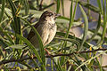 House Sparrow - Passer domesticus 02.jpg