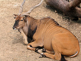 Houston Giant Eland.jpg