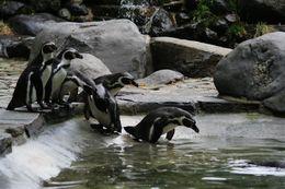 Skupina tučňáků Humboldtových v Pražské ZOO