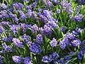 Hyacinths.jpg