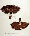Hydnum subsquamosum — Flora Batava — Volume v19.jpg