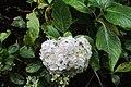 Hydrangea macrophylla (Thunb.) Ser. (AM AK361280-5).jpg