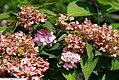 Hydrangea macrophylla Bailmer 3zz.jpg