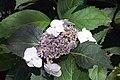 Hydrangea macrophylla Tokyo Delight 0zz.jpg