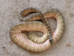Hydrophis belcheri - journal.pone.0027373.g005.png
