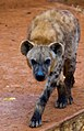 Hyena (5343245488).jpg