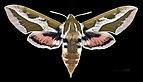 Hyles tithymali mauretanica MHNT CUT 2010 0 133 Ifrane Maroc dorsal.jpg
