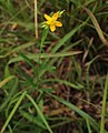 Hypericum canadense flower (01).jpg