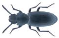 Hyperops coromandelensis (Solier, 1835) (35591348352).png