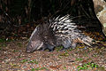 Hystrix brachyura, Malayan porcupine - Khao Yai National Park.jpg