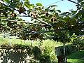 I kiwi di rocca - panoramio.jpg