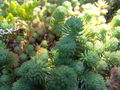 Iceland Plants 4852.JPG