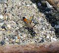 Ichneumon Wasp - Flickr - gailhampshire (20).jpg