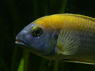 Ichthyophthirius multifiliis - Cichlid showing the white spots characteristic of ich
