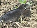 Iguana-verde no nordeste brasileiro.jpg