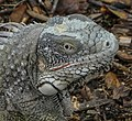 Iguana close-up (31057281422).jpg