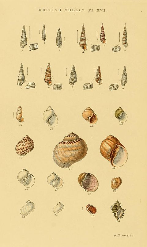 Illustrated Index of British Shells Plate 16.jpg