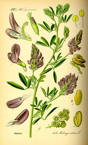 Illustration Medicago sativa0.jpg