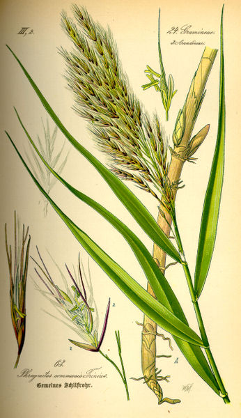 Файл:Illustration Phragmites australis0.jpg