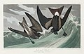 Illustration from Birds of America (1827) by John James Audubon, digitally enhanced by rawpixel-com 261.jpg