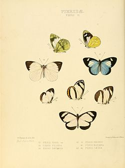 Illustrations of new species of exotic butterflies Pieris VI.jpg