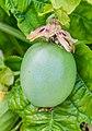 Immature fruit of Passiflora caerulea.jpg