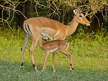 Impalas (Aepyceros melampus) female and young (11421993164).jpg