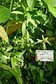 Impatiens irvingii-Jardin botanique Meise (1).jpg