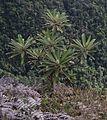 Inciencio (Libanothamnus neriifolius).jpg