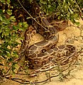 Indian Rock Python Python molurus by Dr. Raju Kasambe DSCN2687 (19).jpg