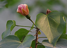 Indian Tulip Tree (Thespesia populnea) flower & leaves in Kolkata W IMG 3529.jpg
