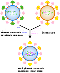A cartoon showing how viral genes can be shuffled to form new viruses