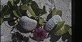 Ipomoea pes caprae. Mathewtown beach (27093770689).jpg