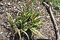 Iris foetidissima in Jardin Botanique de l'Aubrac.jpg