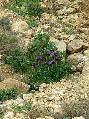 Iris nigricans - Image: Iris nigricans Jordanie (2)