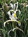 Iris spuria HRM1.jpg